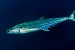 Yelllowfin tuna underwater Stock Images