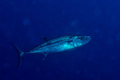 Yelllowfin tuna underwater Royalty Free Stock Images