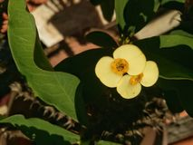 Yello blomma Arkivfoto