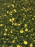 Yello blommar bakgrund Royaltyfri Foto