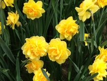 Yello narcisses tulips. White tulip fields in the Netherlands Royalty Free Stock Photos