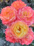Yellow rose lovely. Yellow, pink and white rose, hd quality stock photos