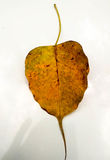 yelloblad av det siritual buträdet Fotografering för Bildbyråer