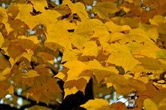 Yelloow槭树叶子 免版税库存图片
