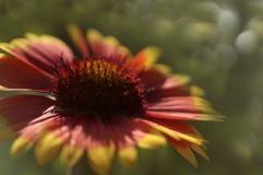 Yellov-красный цветок сада на зеленом цвете запачкал bokeh предпосылки Конец-вверх вектор детального чертежа предпосылки флористи Стоковая Фотография