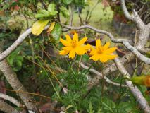 Yellowâ€-‹Schwefel CosmosÂ-flower†‹plant†‹ stockfotos
