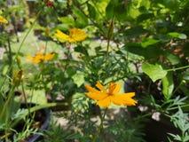Yellowâ€-‹Schwefel CosmosÂ-flower†‹plant†‹ lizenzfreies stockbild