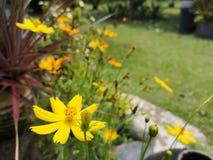 Yellowâ€-‹Schwefel CosmosÂ-flower†‹plant†‹ stockbild