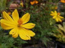 Yellowâ€-‹Schwefel CosmosÂ-flower†‹plant†‹ lizenzfreie stockfotografie