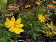 Yellowâ€-‹Schwefel CosmosÂ-flower†‹plant†‹ stockfotografie