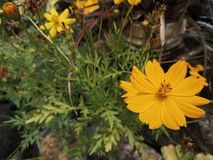 Yellowâ€-‹Schwefel CosmosÂ-flower†‹plant†‹ lizenzfreies stockfoto
