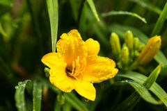 Yellow史特拉de Oro Daylily 库存照片