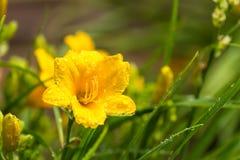 Yellow史特拉de Oro Daylily 库存图片