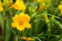 Yellow史特拉de Oro Daylily 免版税库存图片
