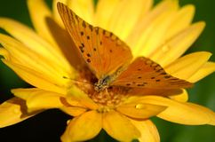 Yellow. Orange butterfly on yellow gerbera daisy Stock Images