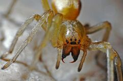 Yellow 8 Legged Spider Stock Images