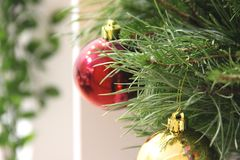 on a yellow abstract background is a white shelf with a green flower in a pot. coniferous green branches of the Christmas tree, royalty free stock photography