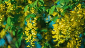Yellow acacia blossom branch, wind moving the hanging flowers, under evening sunlight stock video