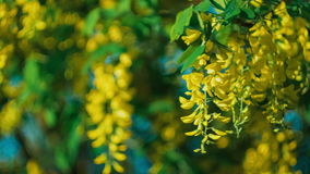 Yellow acacia blossom branch, wind moving the hanging flowers, under evening sunlight stock video footage