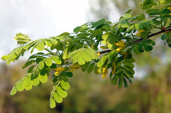 Yellow acacia branch Stock Images
