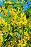 Yellow acacia. Bright blossoming bush of yellow acacia Stock Image