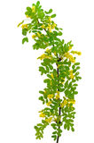 Yellow acacia (Caragana arborescens) branch Royalty Free Stock Image