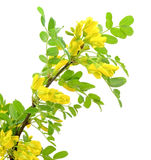 Yellow acacia (Caragana arborescens) branch Stock Images