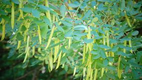Yellow acacia - caragana arborescens.pods and leaves. Against the background of the blue sky stock video footage