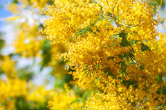Yellow Acacia dealbata Stock Photo