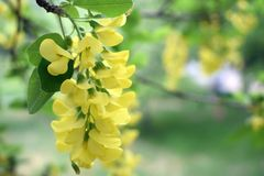 Yellow acacia in the spring in the park royalty free stock images