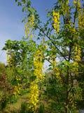 Yellow acacia tree royalty free stock photos