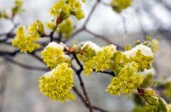 Yellow acacia under a snow Royalty Free Stock Photography