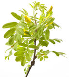 Yellow acacia on white Royalty Free Stock Photos