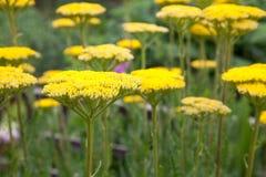 Yellow achillea flowers in a garden border. Bright yellow achillea flowers with focus on front flower stock photos
