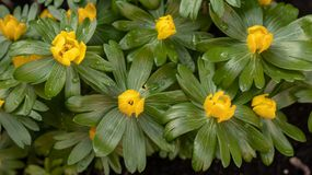 Yellow aconites in flower in February stock photos