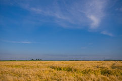 Yellow acre. With blue sky almost ready for the harvest Royalty Free Stock Image