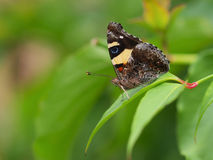 Yellow Admiral Butterfly, Vanessa itea, male, australian butterf Royalty Free Stock Image