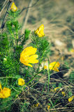 Yellow adonis flower in nature Stock Photo