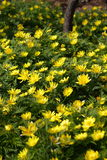Yellow adonis flowers Stock Images