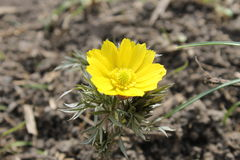 Yellow adonis Royalty Free Stock Images