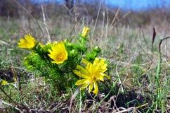 Yellow adonis Stock Photo
