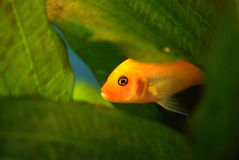 Yellow African cichlid in the aquarium Stock Photo