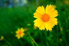 Yellow african daisy. The beautifuly yellow african daisy stock images