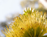 Yellow agave flower Stock Photography