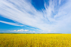 Yellow agriculture field. Under blue skies Stock Photos