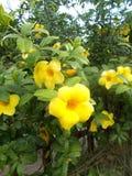 Yellow alamanda Stock Images