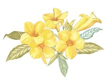 Yellow Alamanda flower isolated on white background. Watercolor Singapore flower realistic colorful with leaves. Exotic. Tropic floral object for your poster Royalty Free Stock Images