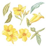Yellow Alamanda flower isolated on white background. Watercolor Singapore flower realistic colorful with leaves. Exotic royalty free illustration