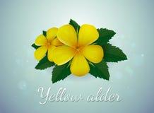 Yellow alder flower. Yellow flower,Turnera ulmifolia royalty free illustration