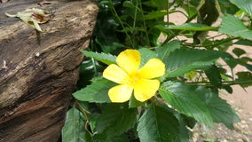 Yellow Alder flower under bright sun light Stock Images